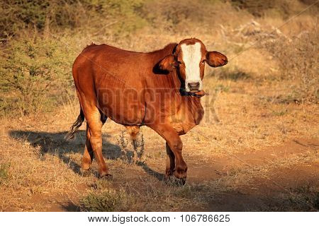 Free ranging cow in late afternoon light