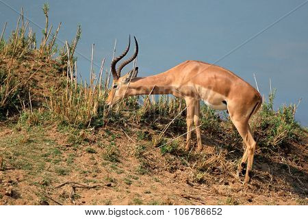 A male impala antelope (Aepyceros melampus) feeding, Kruger National Park, South Africa