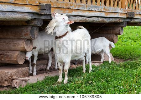 White Goats In The Village Walking Near A Wooden House In Summertime