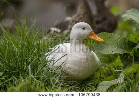 Pekin duck sitting on grass by the riverbank