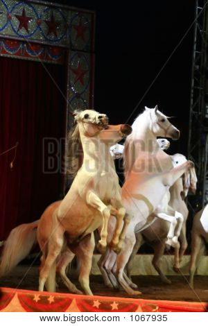 Circus White Horses