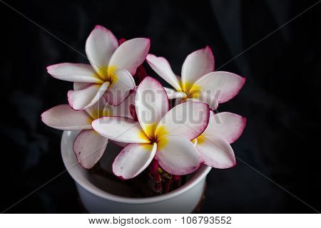 flower plumeria or frangipani in white cup with black background