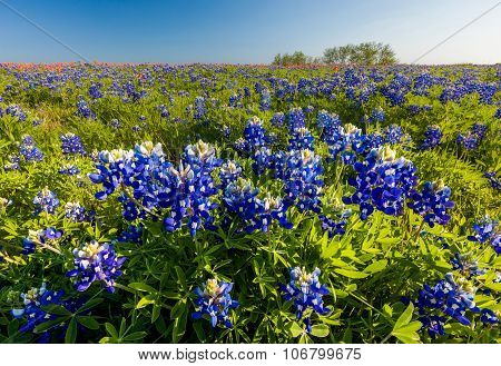 Texas Wildflower -  Bluebonnet And Indian Paintbrush Filed In Ennis