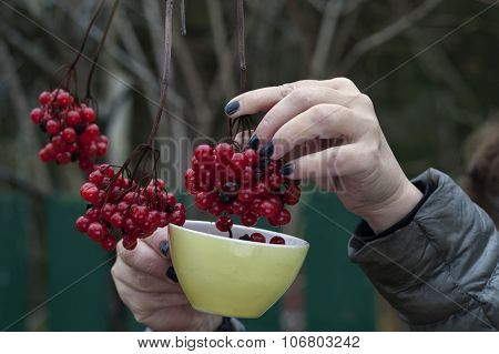 Red Ripe Berries