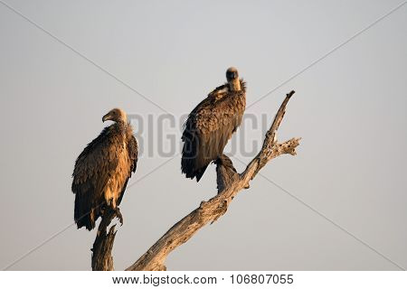 White-backed Vulture.