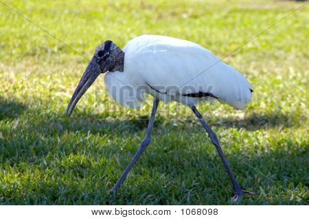 Large Bird Walking