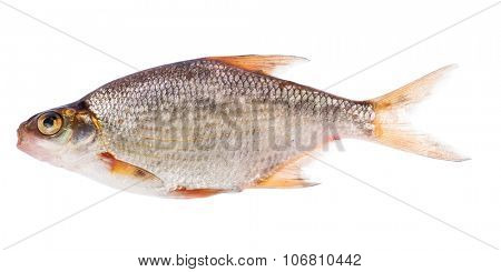 small bream isolated on white background