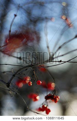 red viburnum frost.
