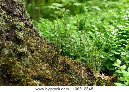 Polytrichum Commune Plant