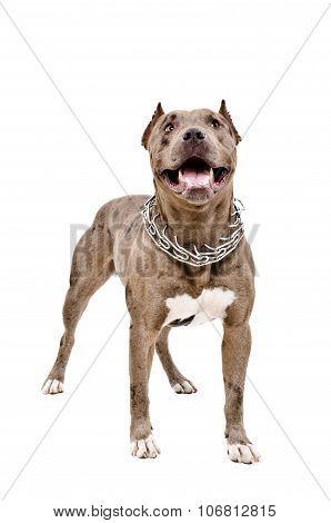 Dog breed Pit bull