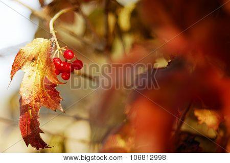 red viburnum autumn.