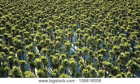 Thousands date palm trees seen from above