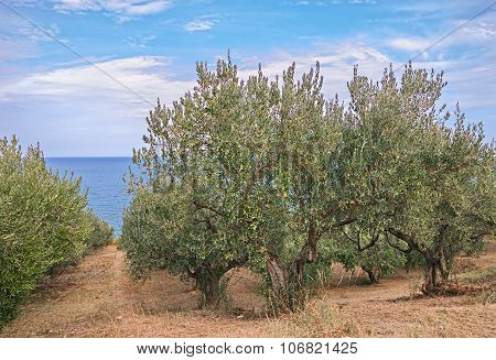 Olive Trees On The Coast Of Sea In Italy