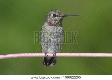 Annas Hummingbird (calypte Anna) On A Wire
