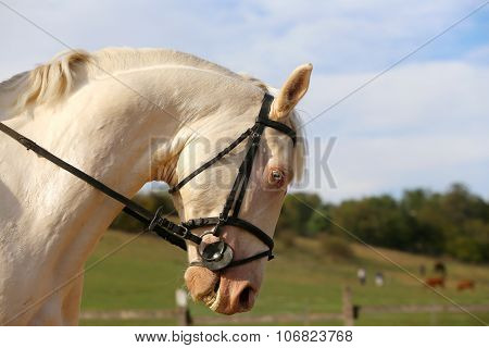 Thoroughbredl White Horse With Unique Blue Eyes