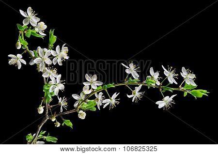 White Blossom Cherry Plum