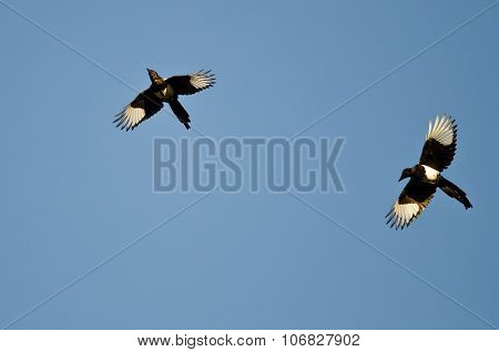 Two Black-billed Magpies Flying In A Blue Sky