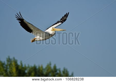American White Pelican Flying Low Over The Marsh