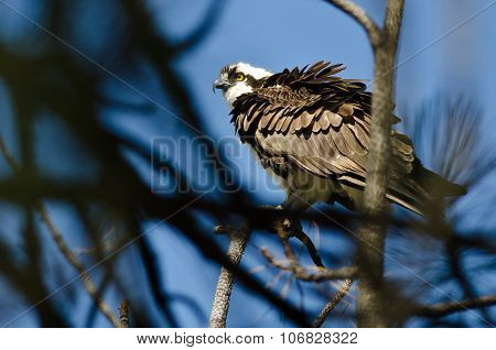 Ruffled Osprey Perched High In The Tree