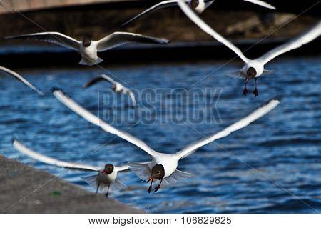 Black-headed Gulls flying under the river