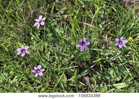 Californian Blue-eyed Grass