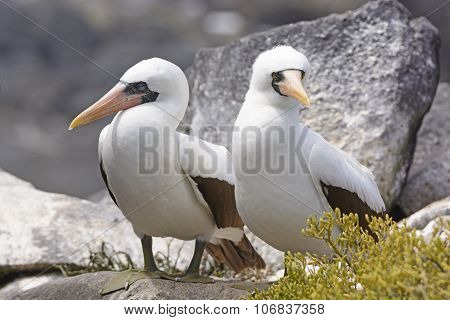 Nazca Boobies Sitting On A Rock