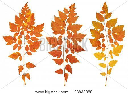 autumn leaves collection, object set isolated on white