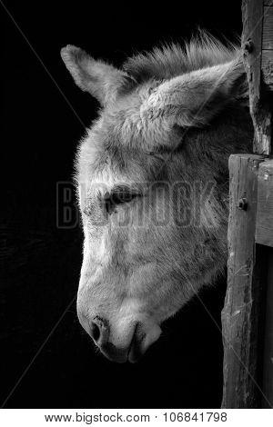 Donkey in monochrome