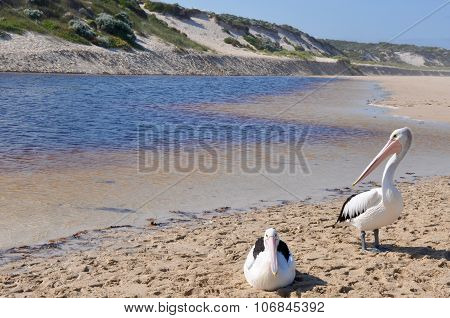 Pelicans at the Edge of a Rivermouth