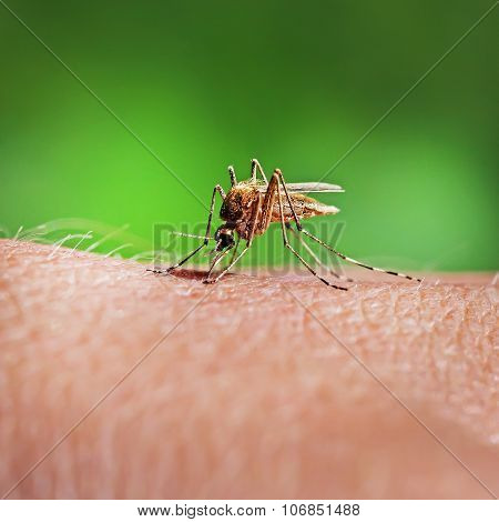 Mosquito-Piskun or Culex pipiens (Latin Culex pipiens)
