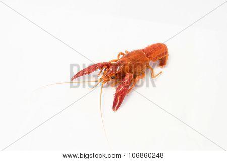 Crayfish Bright Orange Prawn Isolated Object On White Background