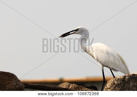 Great Egret, Birdwatching