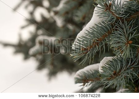 Fresh Snow On Fir Tree Branches