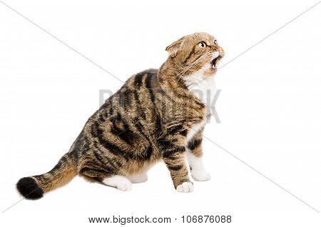 Meowing a cat Scottish Fold