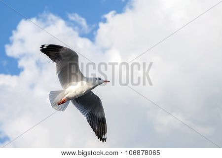 Single Sea Gull Flying Against Background Of Blue Sky And White Clouds.
