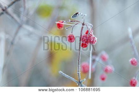 Red Berries Covered With Frost