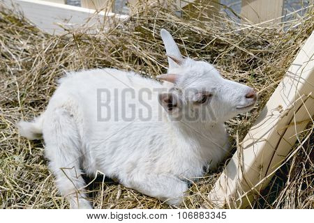 The Young Goat Eating Hay