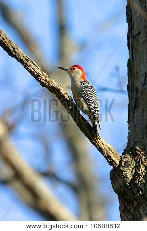 Wild Red Bellied Woodpecker In Warm Sunset Light