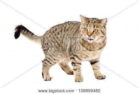 Cat Scottish Straight licking