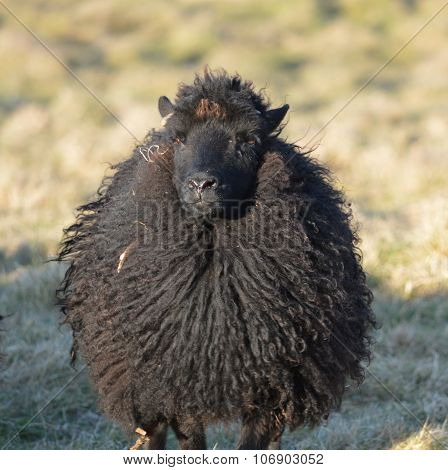 Hebridean Ewe in a Field