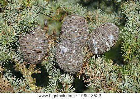 Blue Atlas Cedar Cones