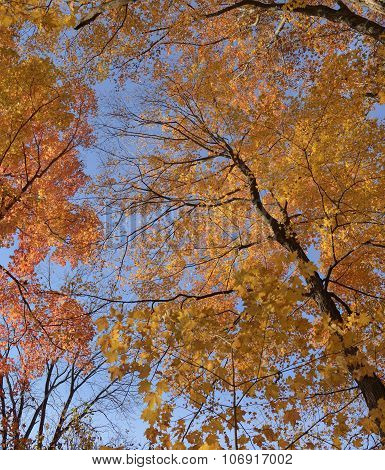 Maple trees in autumn colors.