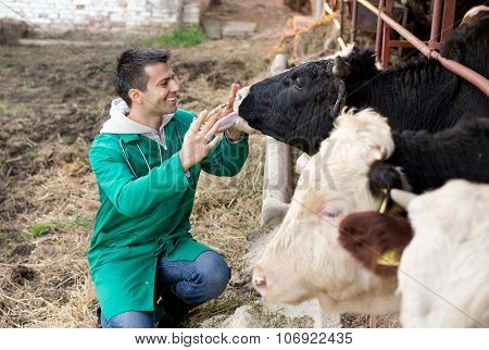 Veterinarian On Dairy Farm