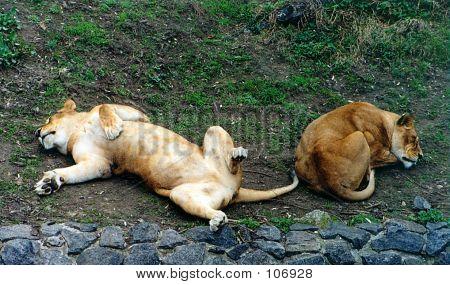 Lions Having Rest