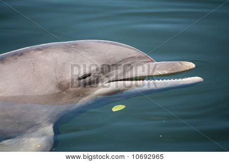 Bottlenose Dolphin Resting On The Water