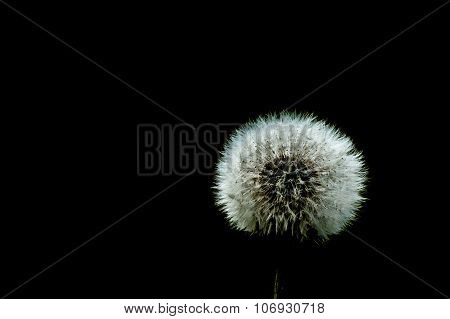 Dandelion On Black