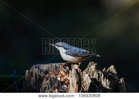 Nuthatch's Stump
