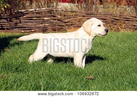 A Nice Yellow Labrador Puppy Playing In Green Grass