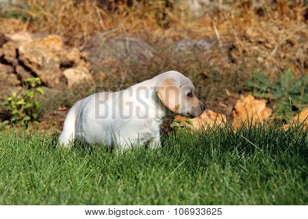 The Nice Yellow Labrador Puppy Playing In Green Grass