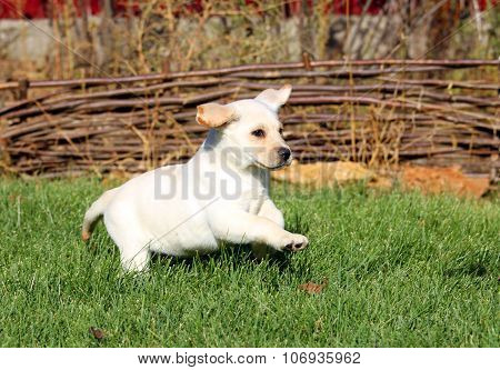 Little Nice Yellow Labrador Puppy Playing In Green Grass